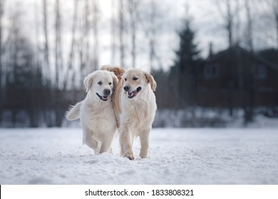 two dogs in the winter in the snow. Golden retriever plays in nature, outdoors