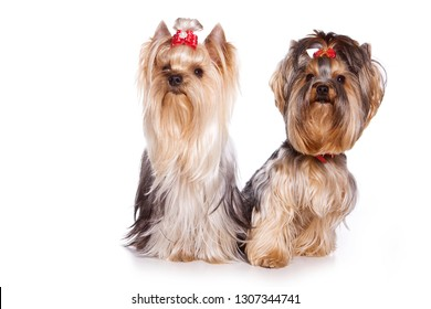 Two dogs Yorkshire terrier with bows (isolated on white)