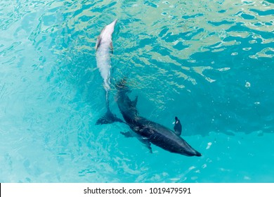 Two dolphins in captivity seen from above swim close to each other, their tails almost touching. Cancun, Quintana Roo, Mexico.