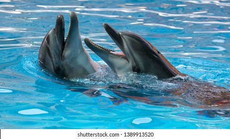 Two dolphins cuddle in the water. Love