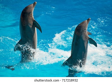 Two dolphins dancing in water.