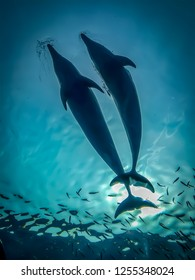 Two dolphins enjoy together with small fish in the deep clear blue water.