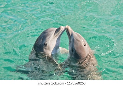Two dolphins kissing in Caribbean waters.
