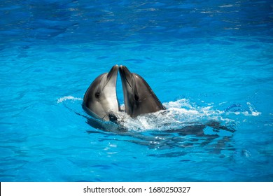 Two dolphins (scientific name Tursiops Truncatus) cuddle in the water. Happiness of dolphins, a symbol of love and fidelity. Place for text.