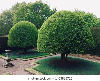 Two domed green box tree topiary trees