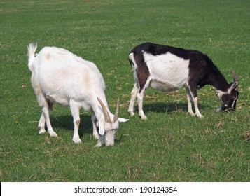 Two domestic goat on green meadow