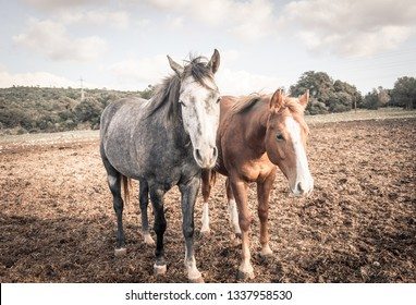two domestic horses in the meadow