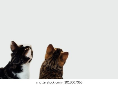 Two domestic shorthair cats looking up at blank white wall