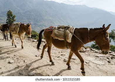 Two donkeys brown bear on  back on the Moutain
