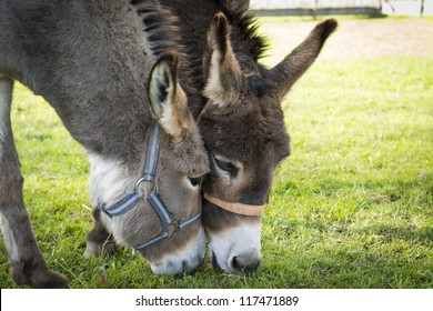 two donkeys eating grass with heads touching each other