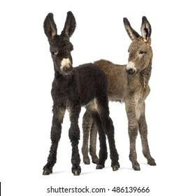 Two donkeys foal, baudet du poitoux isolated on white