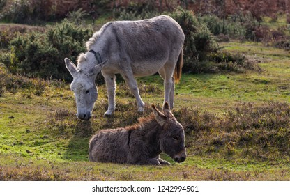 Two donkeys grazing on a meadow with heather in National Park New Forest in England.