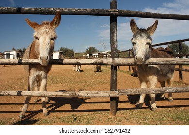 two donkeys looking through wooden fence