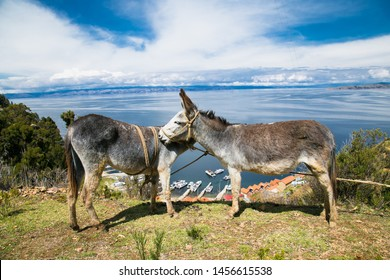 Two donkeys portrait at  Isla del Sol  on a sunny day in Bolivia  South America