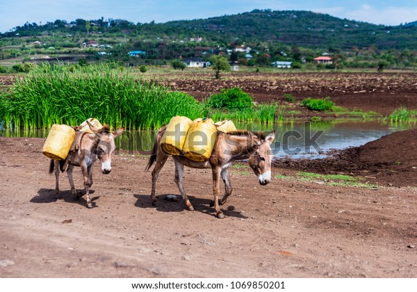 Two donkeys walking along dirt road in rural Kenya. They are fitted with harnesses and transporting panniers filled with stream water for a building site. Rural scene.