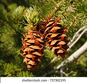 Two Douglas-Fir (Pseudotsuga menziesii) cones hanging from a tree branch in Beartooth Mountains, Montana