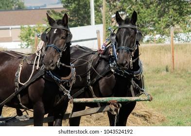 Two draft horses pulling carts