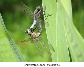 Two dragonflies stick together on a leaf during a cloudy day next to a lake in a middle of a natural park. Macro picture with a blurred background