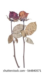 two dried and dead rose isolate on white background