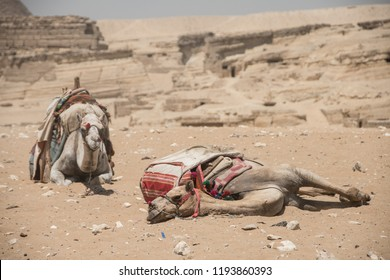 Two dromedaries laying in front of the Giza pyramid complex in Cairo, Egypt