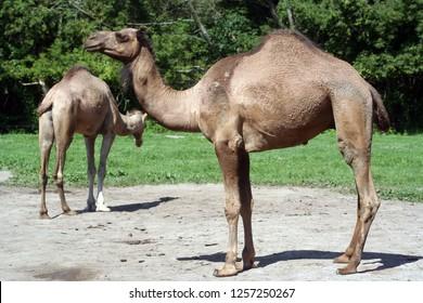Two Dromedaries in Zoo