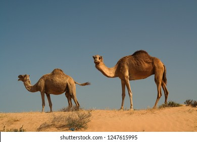 Two dromedary in isolated Oman desert