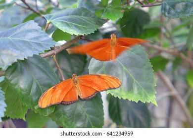 Two dryas iulia butterflies