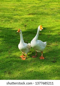 two duck on green grass background