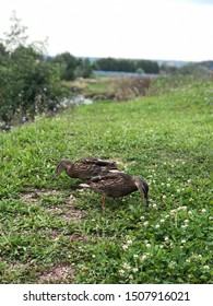 Two ducks eating grass and dandelions