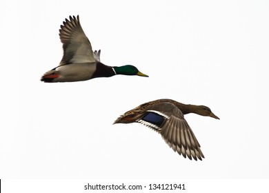 Two ducks flying, against white sky. Right one in focus.