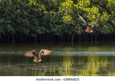 Two Ducks flying away from the camera showing the feathers of their backs and outspread wings