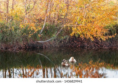 Two ducks in the lake, and golden birches in the autumn background