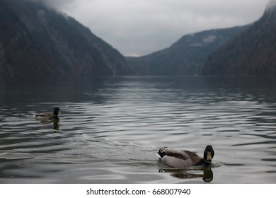 Two ducks on lake königsee in the bavarian alps with reflection on lake königsee on saint bartolomew in the chiemgau alps in bavaria in germany