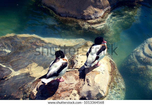 Two ducks sunbathing on a rock in a pond with clear water