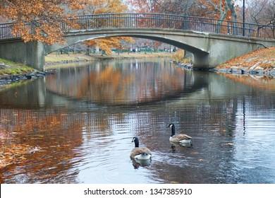 Two ducks swimming in Muddy river beside a beautiful bridge in Back Bay Fens Park in autumn, Boston, MA