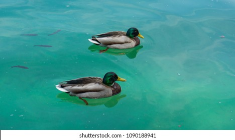 Two ducks swimming on the lake with fish under the water