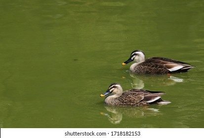 Two ducks are swimming in the pond.