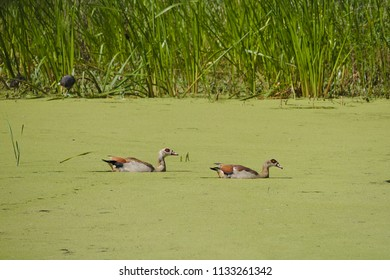 Two ducks swimming a small green like in the sunshine