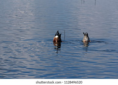 Two Ducks Tail Up in the Water