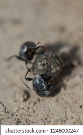 Two dung beetles fighting over a ball of dung. Keoladeo Ghana. Bharatpur. Rajasthan. India.