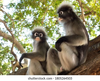Two Dusky leaf monkey ( Spectacled langur ) sitting on tree in forest with natural green background, Prachuap Khiri Khan Province, Thailand