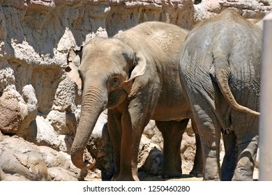 Two dusty Asian elephants standing front to back in an arid desert environment