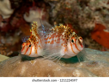 Two dwarf hawkfish, ( Cirrhitichthys falco ) swimming over corals of Bali, Indonesia