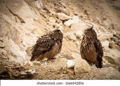 two eagle owl in the rocks - Shutterstock ID 1666542856