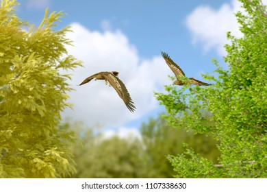 two eagles above trees