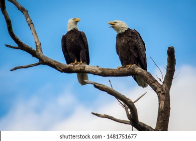 Two Eagles on a Branch Chattering at Each Other