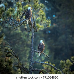 Two eagles are perched in a pine tree near Coeur d'Alene, Idaho.