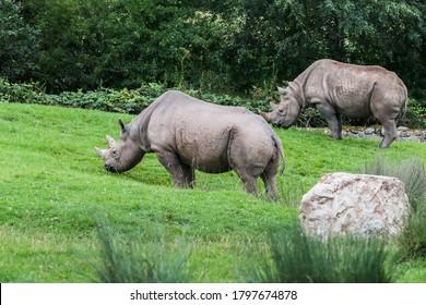 Deux rhinocéros noirs d'Afrique de l'Est broutent sur une herbe verte luxuriante.