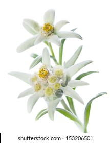 Two Edelweiss flowers (Leontopodium alpinum) isolated over white