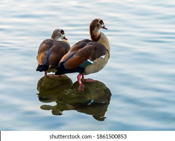 Two egyptian gooses standing on the stouns in lake, reflections in water